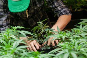 farmer looking at cannabis plant